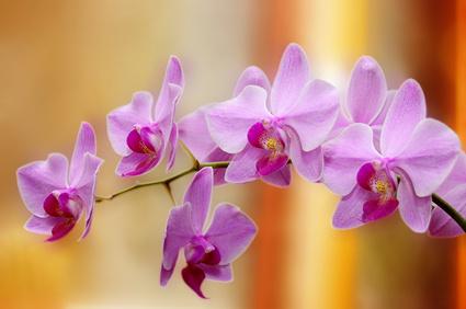 орхидея фен-шуй