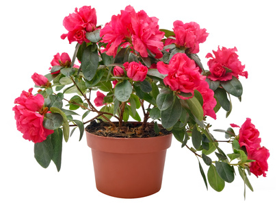 Розы фен-шуй